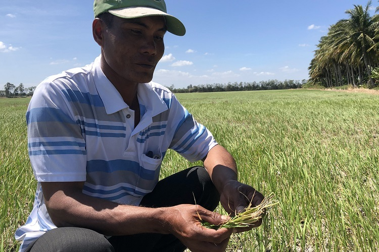 A farmer in Long Phu District in the Mekong Delta Soc Trang Province holds rice plants that have all died because of drought, January 22, 2020. Photo by VnExpress/Huy Phong.