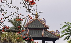 Season of scarlet flowers in Hue
