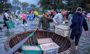 Bumper shrimp season in Da Nang