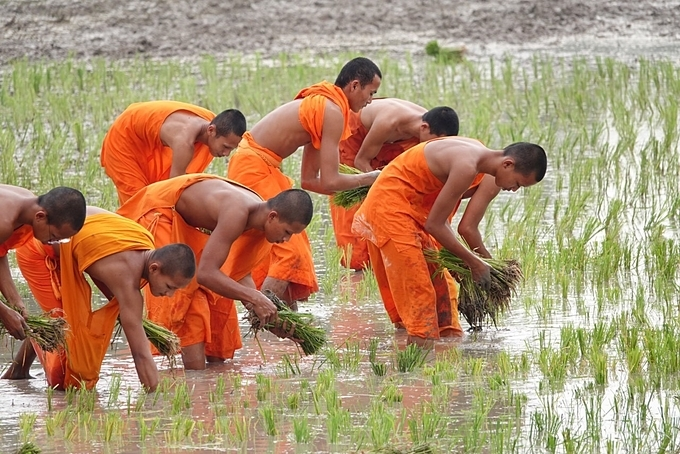 A close-up look of the monks planting new rice.