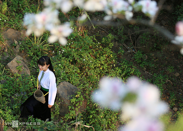 Bauhinia flowers  have come into life and become an indispensable part of Thai ethnic minority people in the northern mountainous region, helping the community to stick together.