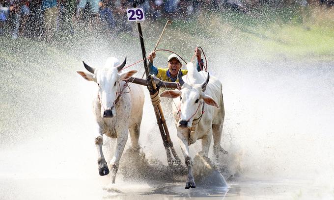 Mekong ox race vies for international branding