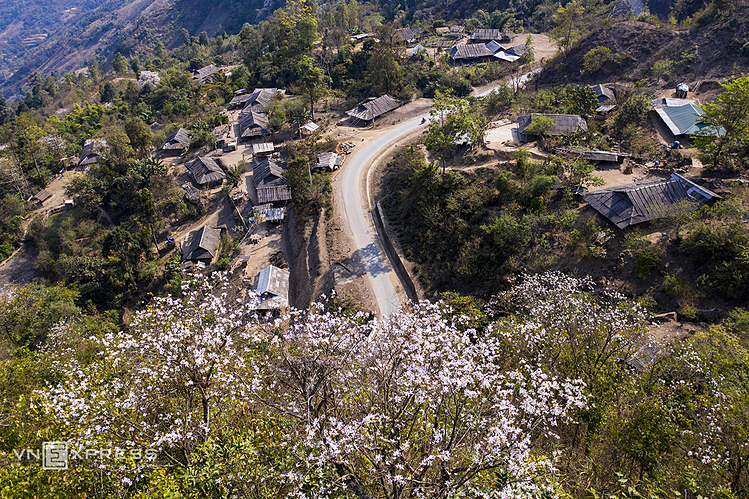 White Bauhinia flowers is a signature of northern mountainous provinces, often blossoming in early March.Driving along the national highway leading to Tia Mong village in Dien Bien Province at this time, one can see white Bauhinia flowers bloom under the scorching sunlight.