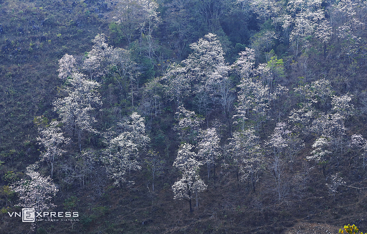 The flowers are hidden in fog of the last days of winter in the northwest mountainous province. The districts such as Dien Bien Dong, Muong Cha, Tuan Giao, Tua Chua are where to admire blooming Bauhinia flowers.