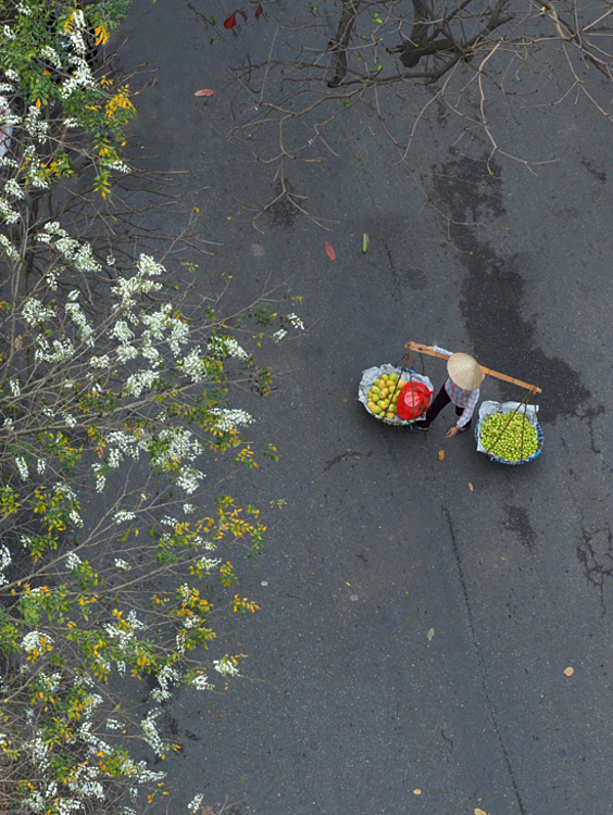 A local fruit vendor walks under the shades of the white sua trees at Cau Go-Hang Dau crossroad in Hoan Kiem District.