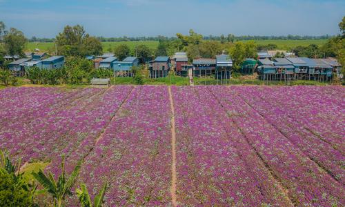 Periwinkle flowers in full bloom in Mekong Delta
