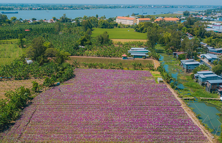 Fields of periwinkle blossoms, adjacent to rice paddies in Phu Tan District, are its beautiful time of the year, attracting curious visitors and photographers.The flower field is located near Hau River, a branch of the Mekong River. Water to irrigate for the field is taken from a canal behind nearby residential area.