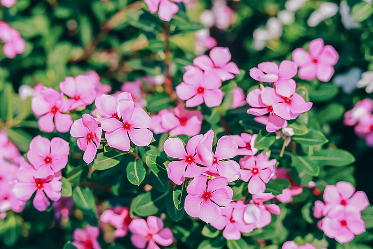 Residents often sow periwinkle in lunar November and harvest in April next year. The harvesting of plants, leaves and roots for processing of herbal medicines takes place before the rainy season around the end of April to the end of October each year.
