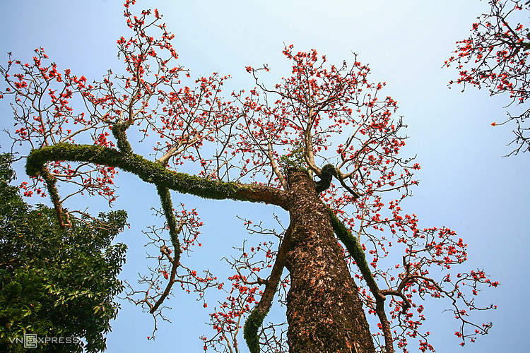 According to Oriental medicine, kapok trees are used as medicines to clear away heat and detoxicate. Particularly their flowers are used to treat many diseases such as peptic ulcer.
