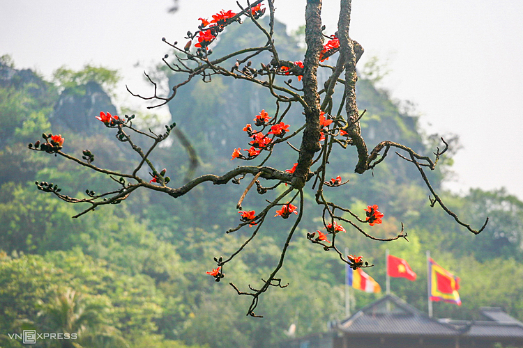 During the blooming flower season, kapok trees lose their leaves, only red flowers on the branches.