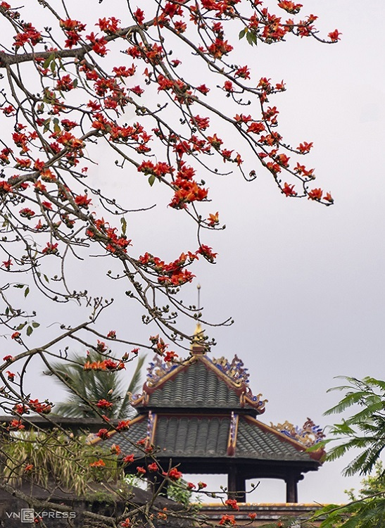 A tree branch packed with these bright scarlet blooms accentuates Vietnam's oldest meteorological station, Quan Tuong Dai, in Thuan Hoa Ward, Hue. It was constructed during the rule of the Nguyen Dynasty, Vietnam's last royal family (1802-1945), and consists of intricate, feng shui-compliant architecture.