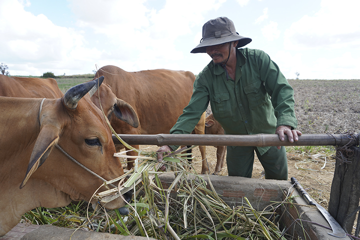 Tran Cong Sy feeds sugarcane to his cows in An Khe Tao of the Central Highlands province of Gia Lai in early March, 2020. Photo by VnExpress/Duc Hoa