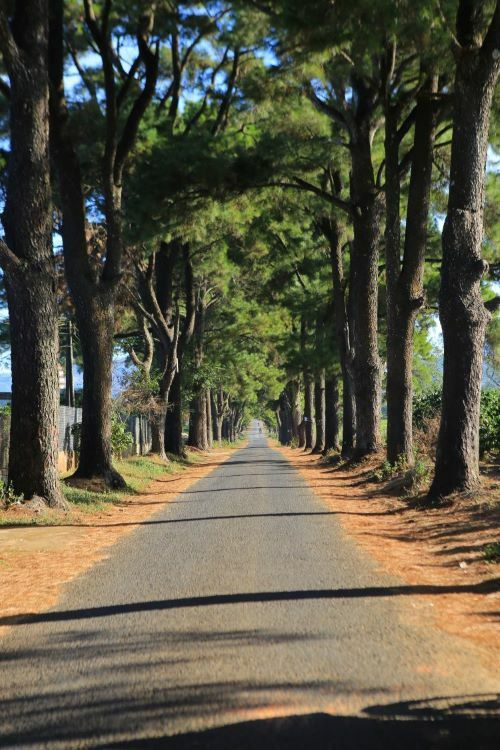A road lined with pine trees in Gia Lai. Photo by Ho Hai.