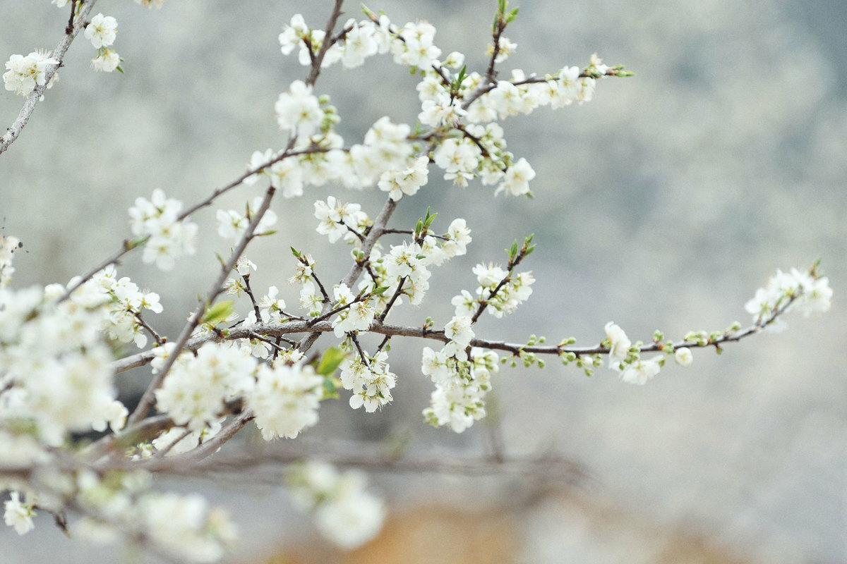 Pear flowers blossom as spring arrives in Pho Tro village.