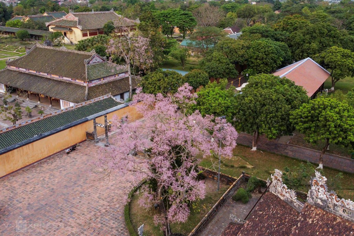 Chinese parasol trees behind Thai Hoa Palace have shed their leaves and now brag with their lively baby pink blooms, softening the sharp edges of nearby buildings.