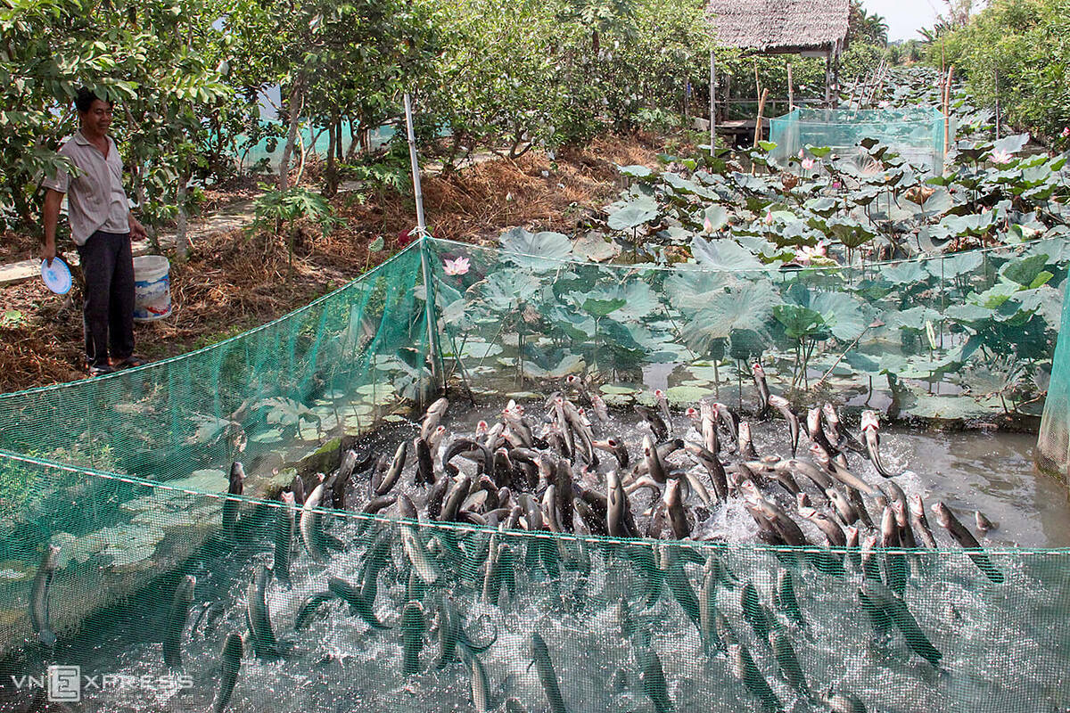 Le Trung Tin, who opened tourism services in Son Islet, located in the middle of Hau River in Binh Thuy District has to spend VND1 million to feed for a herd of 10,000 flying snakeheads. During this time, I cleaned the orchard area with nearly one hectare, planted more ornamental plants and maintained training for flying fish so that when the pandemic is contained, we can welcome visitors immediately, he said.