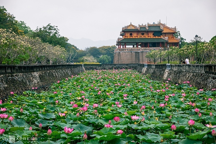 Lotus has been associated with Hue people for a long time, through architecture, cuisine and culture. In Hue you can see lotuses in lakes and ponds everywhere and even in the Hue Royal Palace. Visitors can enjoy the scent and the pure beauty of the lotus here. In the photo is the pink lotus in the lakes surrounding the Great Citadel, overlooking the Phung Mon and the Ngo Mon Gate, the main entrance to Hue Citadel.