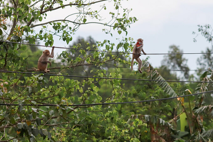 Monkeys chase each other on the electric wire when one picks up two packets of bread, April 22, 2020. Photo by VnExpress/Nguyen Dong.