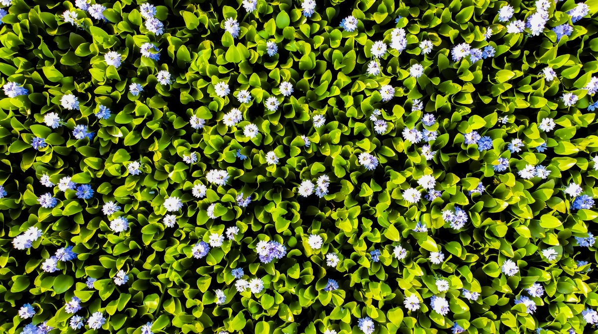 Central Vietnam presents uncommon beauty of common water hyacinth
