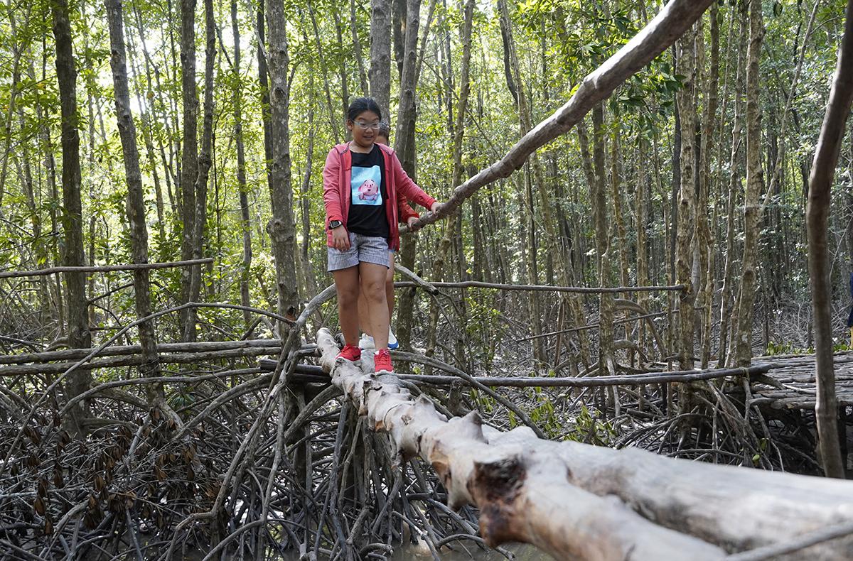 A young girl crosses a rare monkey bridge amid the dense mangroves.
