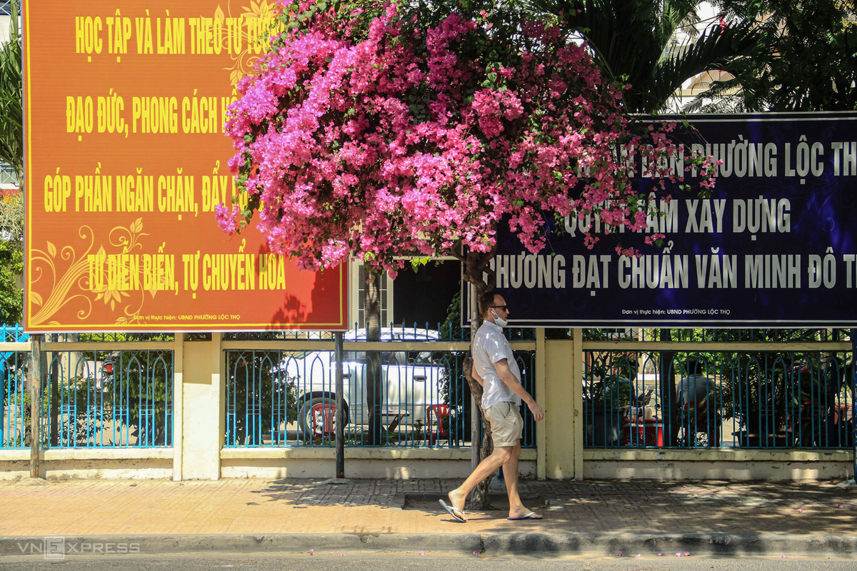 Bougainvillea adds rosy tint to Vietnam's central coast