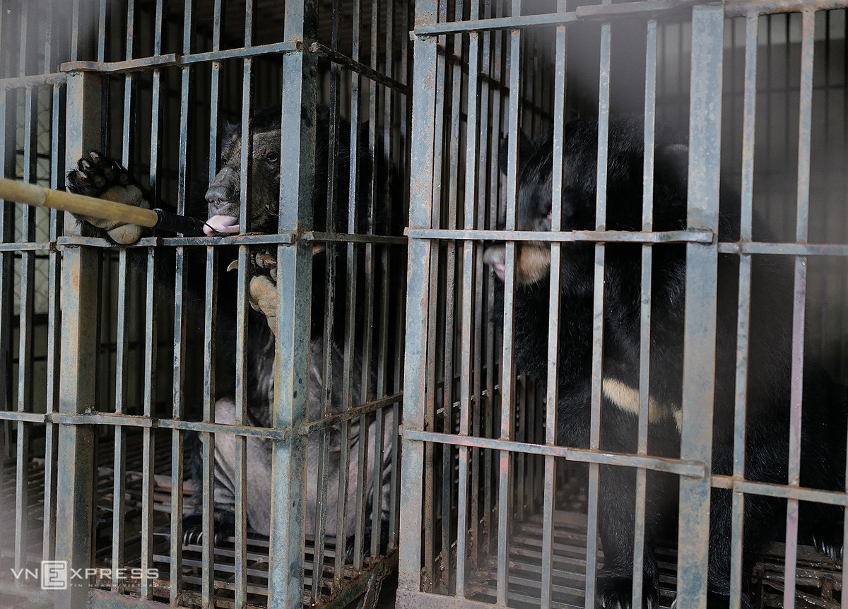 Two female bears Florence and Clara are given honey before rescuers remove them from their cages at a farm in the northern Vinh Phuc Province, May 12, 2020. Photo by VnExpress/Ngoc Thanh.