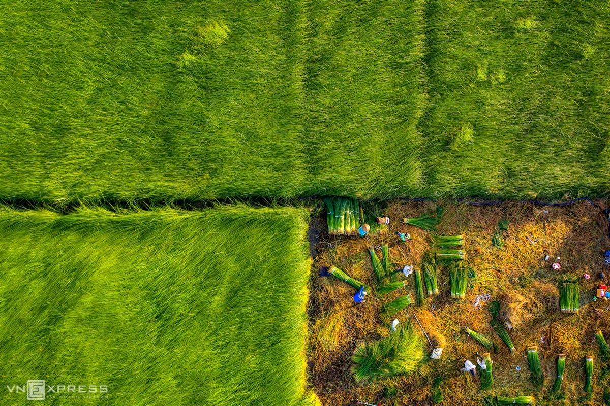 Sedge harvest season begins in Mekong Delta