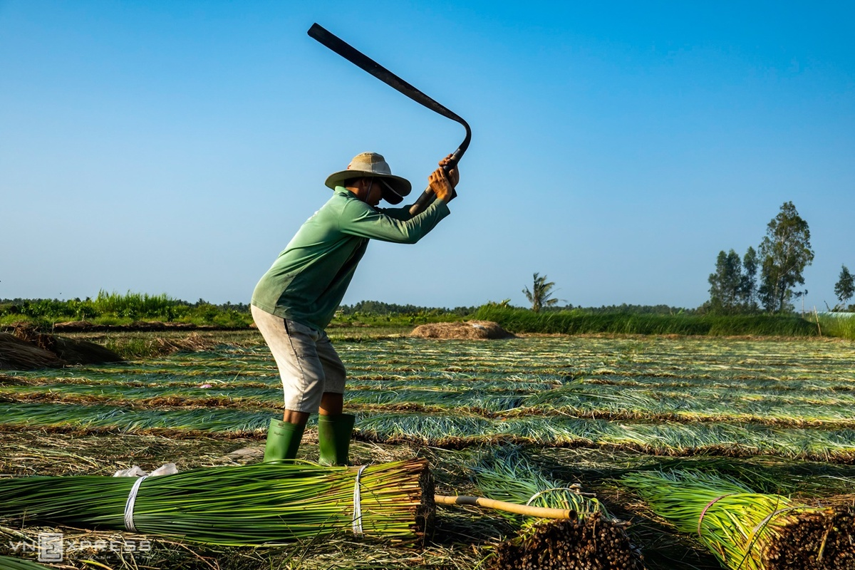 Sedge harvest season begins in Mekong Delta