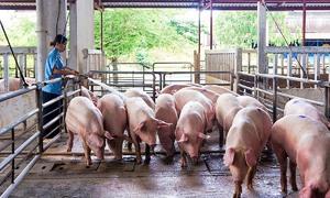 Scarcity sends Vietnam pork prices to 20-year high
