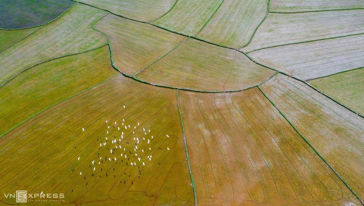 A flock of storks flying over a recently harvested fields in Cat Tan.