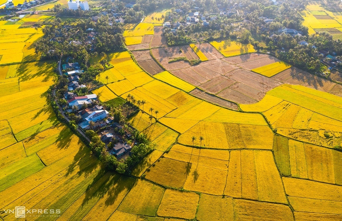 Vast rice paddy field in Hoai My Commune, Hoai Nhon District, signifying a bumper crop season.