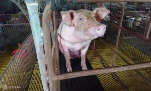 Vietnam greenlights live pig imports