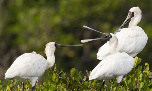 Endangered royal spoonbills arrive in northern province on annual migration