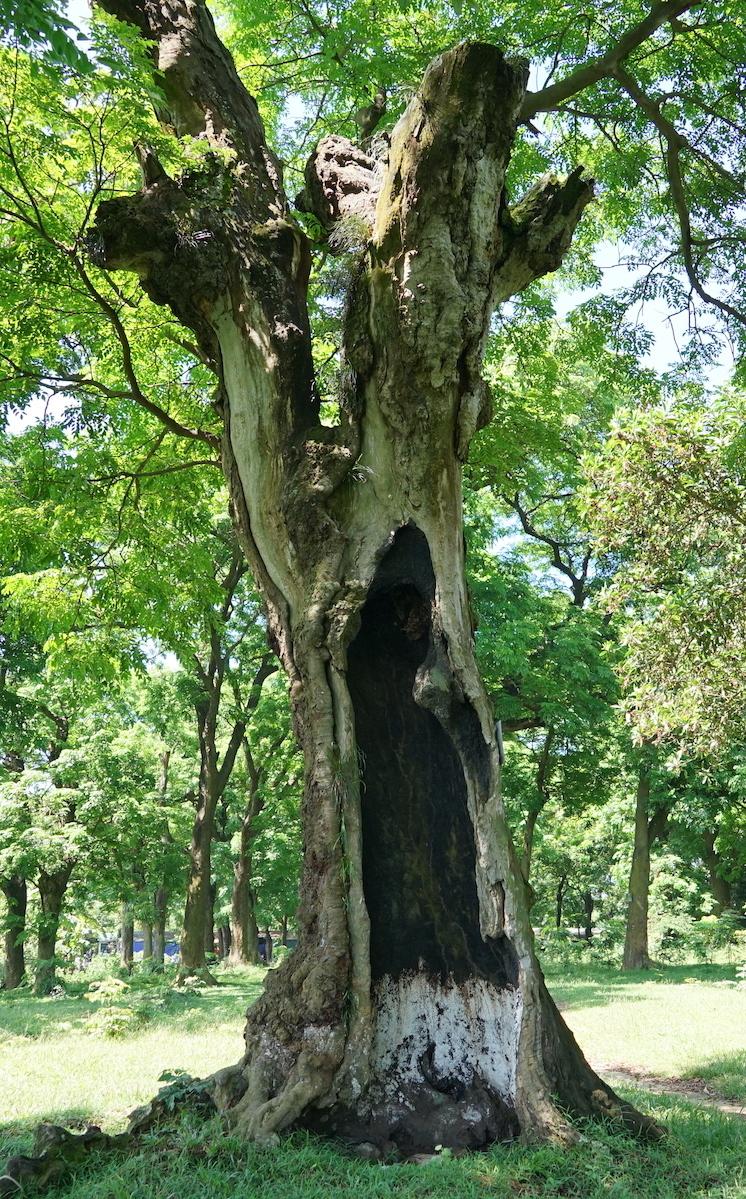 Endangered ancient ironwoods gain heritage status in Hanoi
