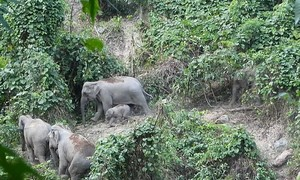 Vietnam acts to protect last remaining wild elephants