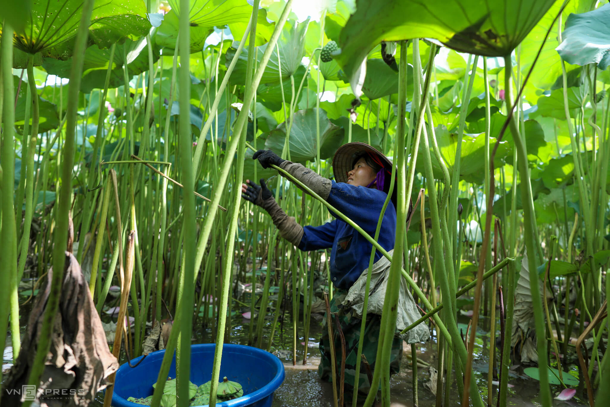 On Vietnam's lotus farms, good seeds make a good crop