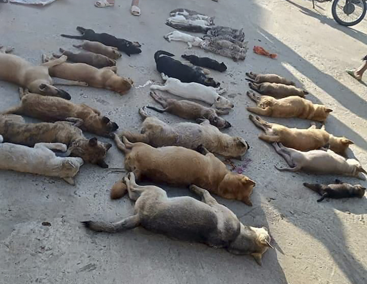 The bodies of 30 dogs and cats killed by poisoining in Thanh Hoa Province in central Vietnam on June 14, 2020. Photo by VnExpress/Lam Son