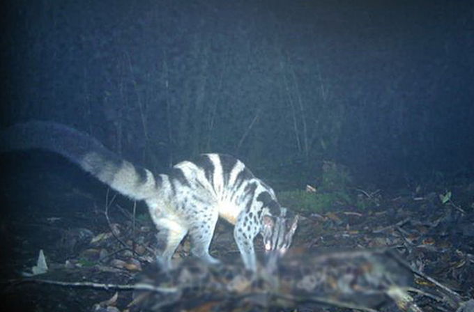 The image of a civet (Chrotogale owstoni) captured by camera traps in Bidoup – Nui Ba National Park in Lam Dong Province, Vietnam. Photo courtesy of Vietnam News Agency.
