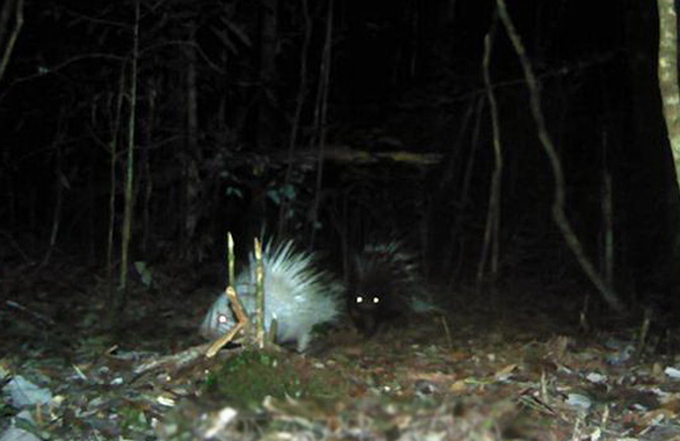 The image of an albino porcupine captured by camera traps at the Bidoup – Nui Ba National Park in Lam Dong Province. Photo courtesy of Vietnam News Agency.