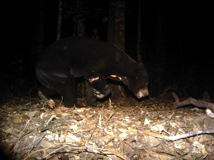 A sun bear recorded from the camera trap suffers injuries to its front leg. Photo courtesy of Vietnam News Agency.