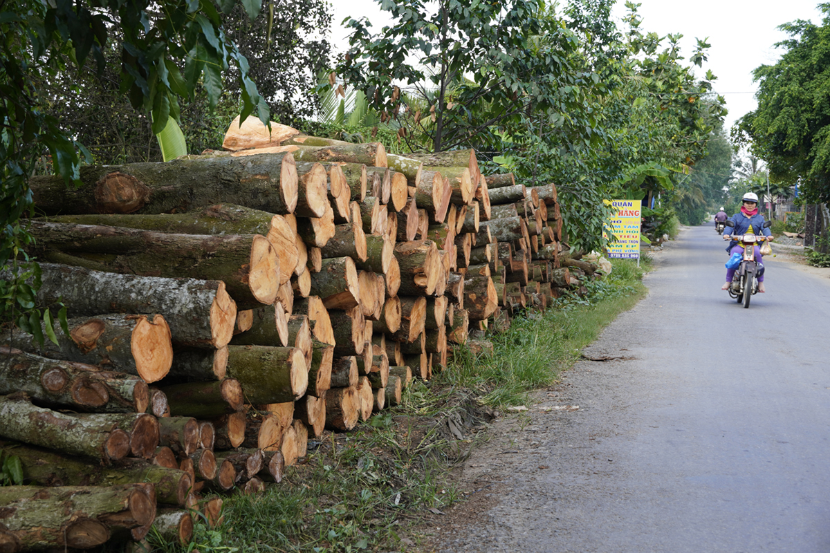 Stacks of wood from dead durian trees are placed along a street in Chau Thanh District of Tien Giang Province. Photo by VnExpress/Hoang Nam