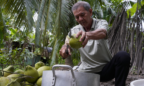 Vietnam's main coconut growing area stressed by salinity