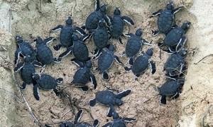 Rangers protect endangered turtle eggs, return 45 babies to sea