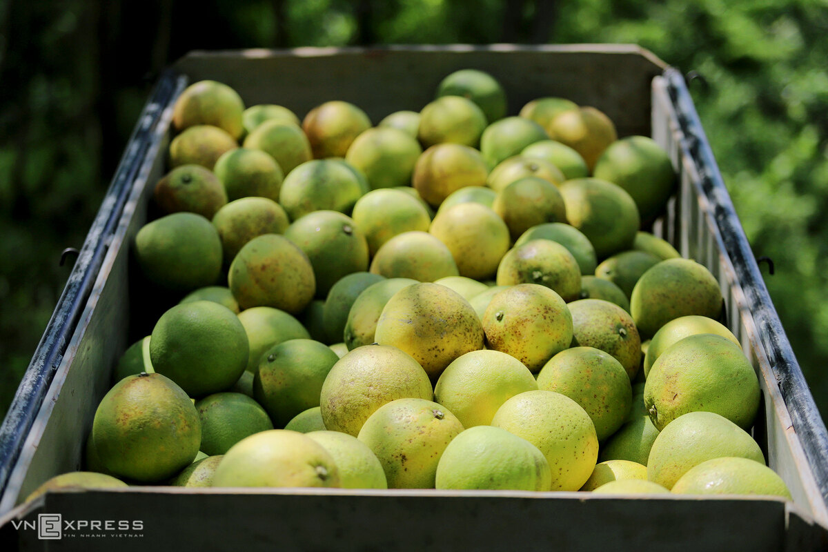 Specialty pomelo harvest season begins in central Vietnam