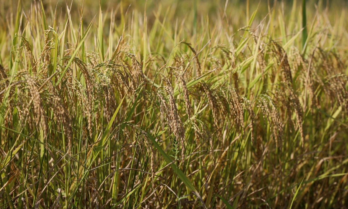 Golden Seng Cu rice plants, a local specialty that takes a shorter period of time to produce and gives soft rice with good aroma.