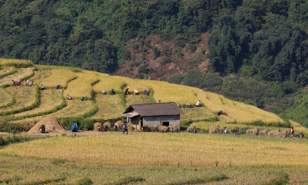 Terraced fields on A Lu Commune. When the harvest season comes, family members and their relatives join hands to finish the job as soon as possible before the rice plans overripen or rain comes.