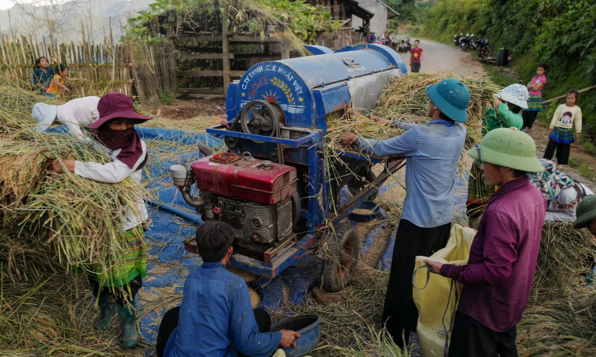 Threshing machines save local farmers energy and time. They used to thresh rice by hand before.