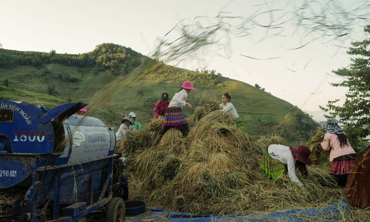Transporting rice plants and threshing them are done by women.