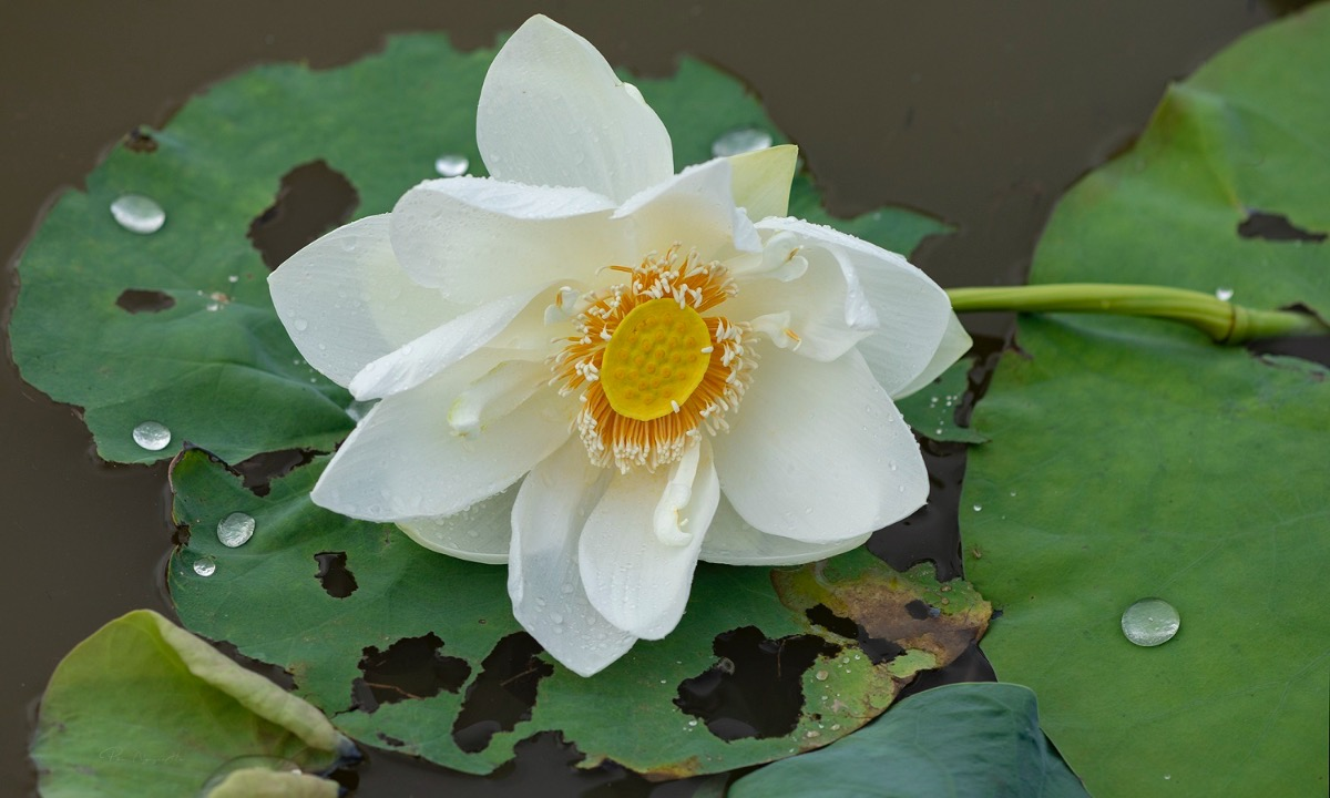 Another species of white lotus takes a rest after the summer rain.