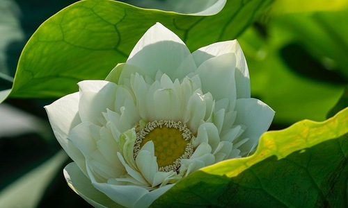 Outer beauty, inner peace: lotus stragglers bid adieu to summer